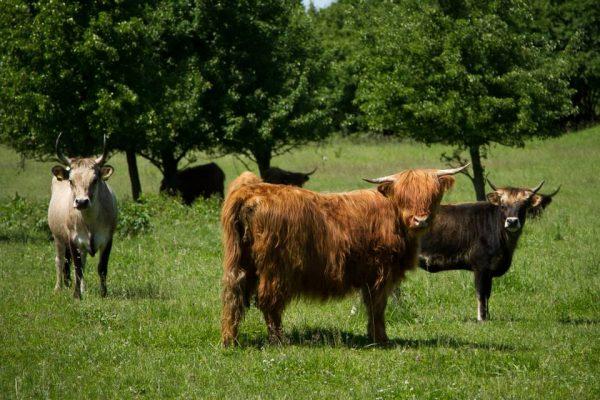 THB-cows